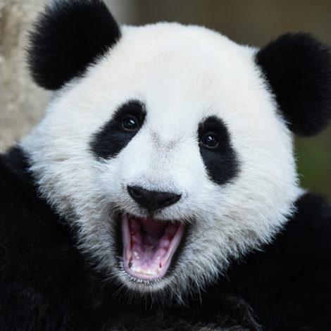 La minute de science ::: Le panda géant